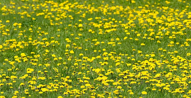 Lawn full of dandelions
