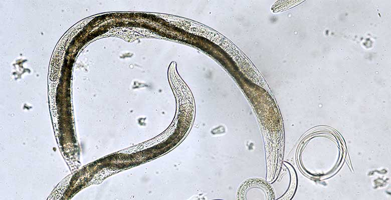 Entomopathogenic nematodes nematodes under microscope